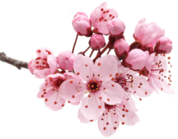 Flor De Cerejeira