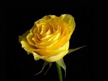 Significado De Rosa Amarela