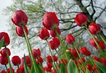 Significado De Tulipa Vermelha