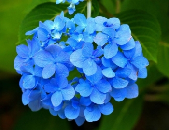 Significado Das Flores Azuis