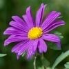 Significado de Flores Roxas