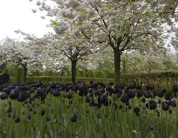 Significado De Tulipa Negra